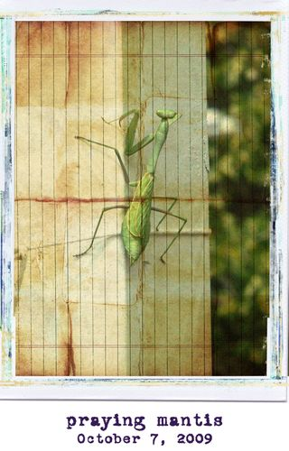 Prayingmantis1